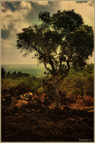 Image of a craggy tree in Hawaii