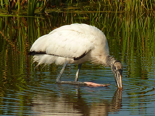 I think the leg up - was on its way to scratch his head...Woodstork at GreenCay | by Terri Lynn Smith