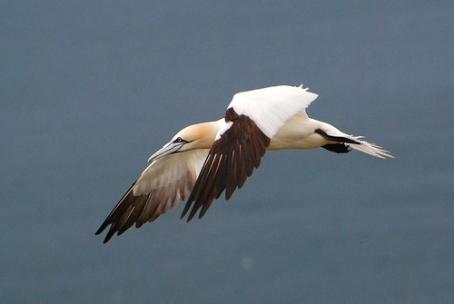 GANNET!! | by katiecappacino.... been a while again since ive do