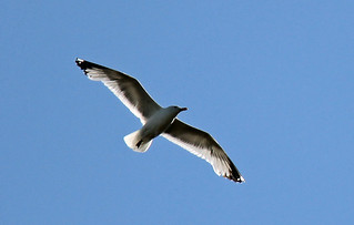 Seagull | by Conquistador100