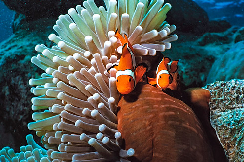 Clown Fish | by Ian-Russell