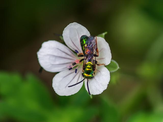 Halictid bees on Thunberg's Geranium