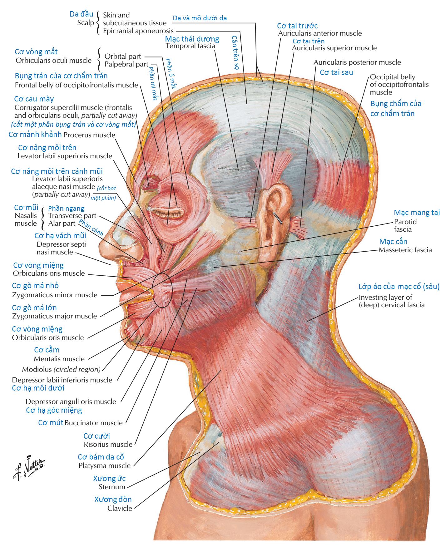 Các cơ biểu hiện nét mặt