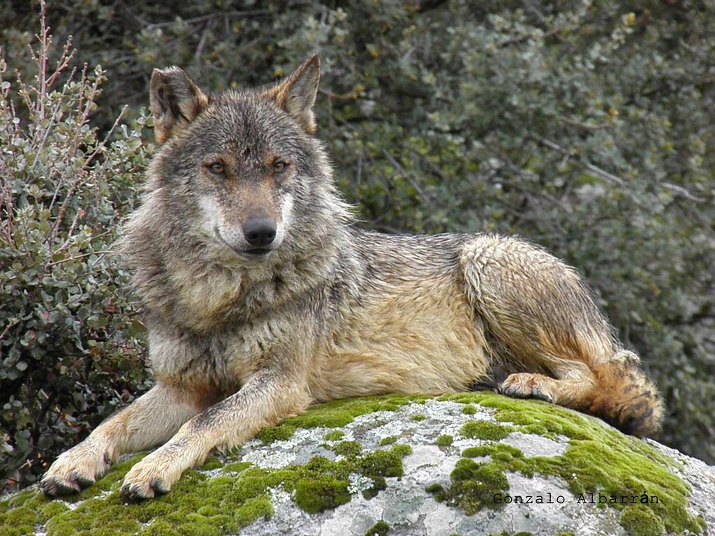 ... ibérico (canis lupus signatus)   OLYMPUS DIGITAL CAMERA…   Flickr