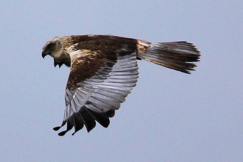 Marsh Harrier | by Edwyn Anderton