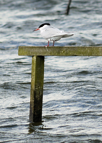 Common Tern | by Kate M Gray