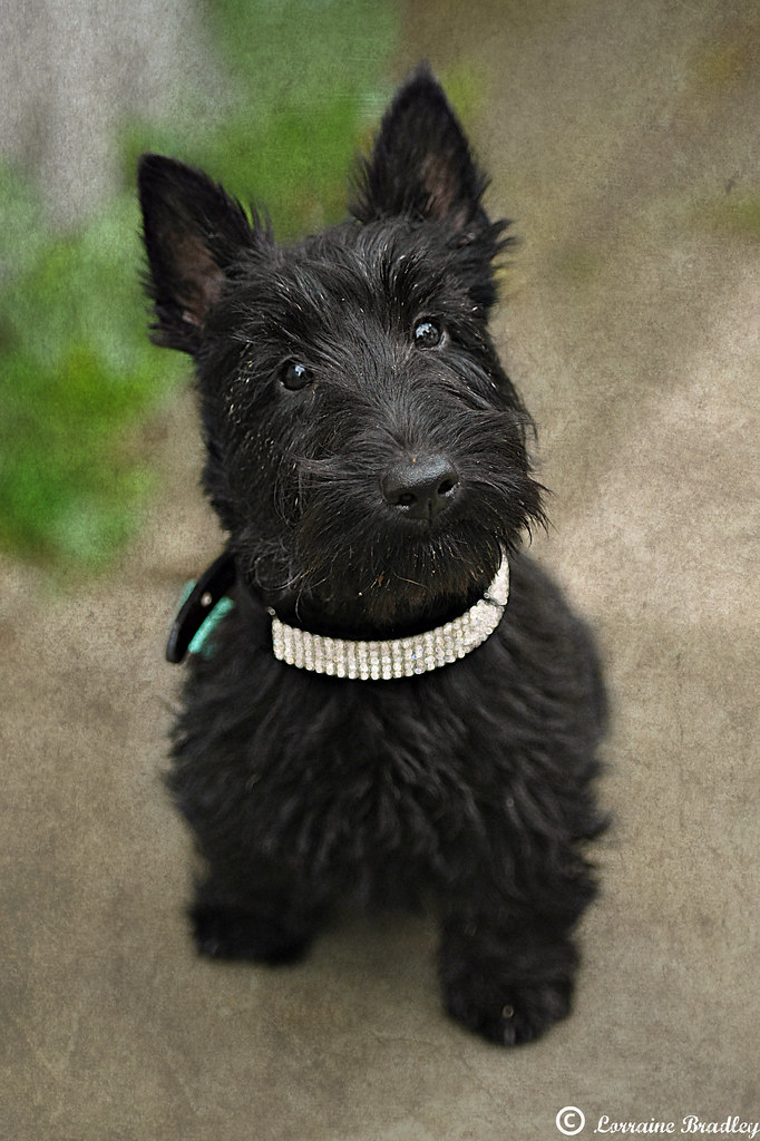 baby scottish terrier morag scottish terrier approx 16 weeks old bling 2008