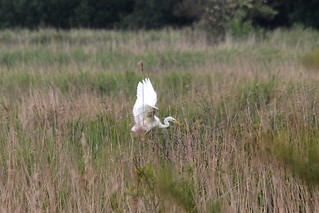 We have lift off !!...Great white Egret chick ~ flying the nest | by Cosper Wosper