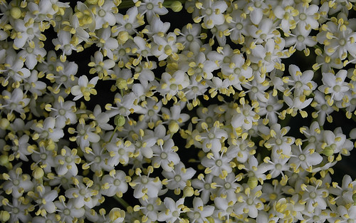 06-23-elderflower | by Paul Sibley