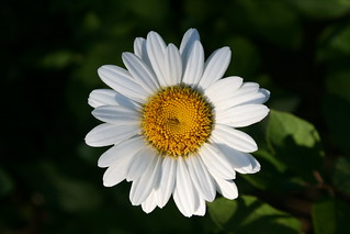 White Daisy Brightens The Evening | by larsongarden