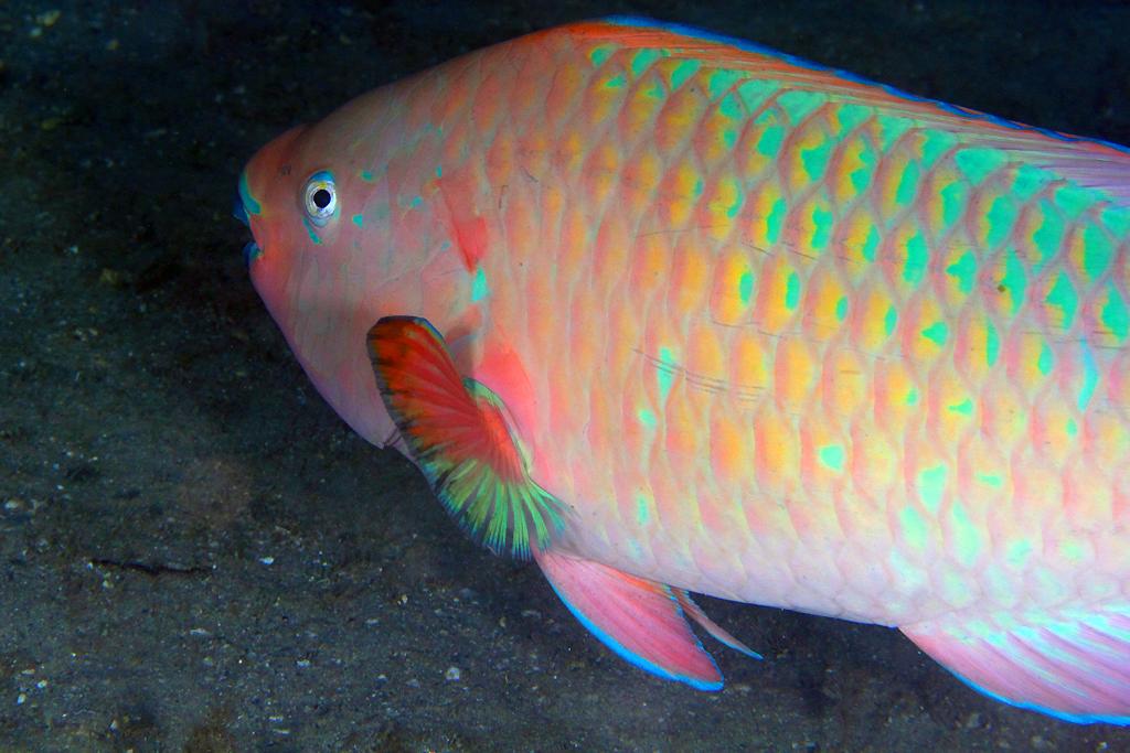 rainbow parrotfish scarus guacamaia Coeruleus), midnight (scarus coelestinus), and rainbow (scarus guacamaia)  parrotfish these are the three largest parrotfish species that occur in the us.