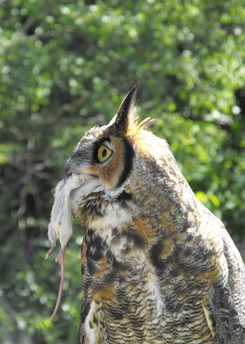 Great Horned Owl eating a mouse | by pegase1972