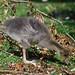 Juvenile Greylag Goose