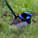 Superb Fairy-wren 2012-07-11 (_MG_0833)