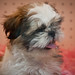 Shih Tzu at Les Petits Puppies in South Beach - Miami Beach FL