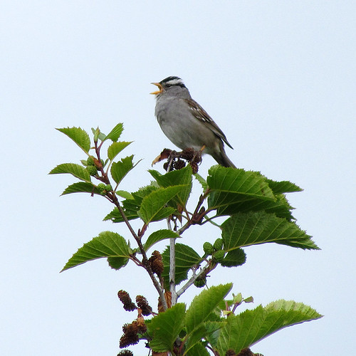 White-crowned Sparrow | by zxgirl