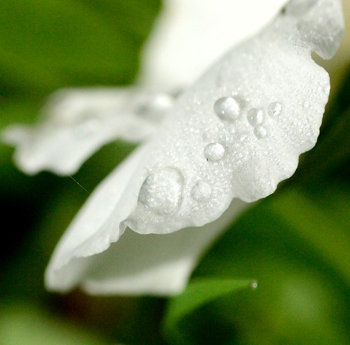 White Petals after morning dew | by GemElle Photography - off & on sorry