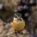 Sacred Kingfisher_5394.jpg