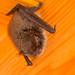 La pipistrelle commune (Pipistrellus pipistrellus)