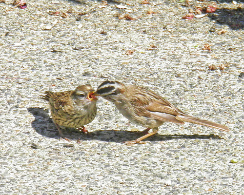 White-crowned Sparrow feeding Young 8-2 | by Perk's Pics