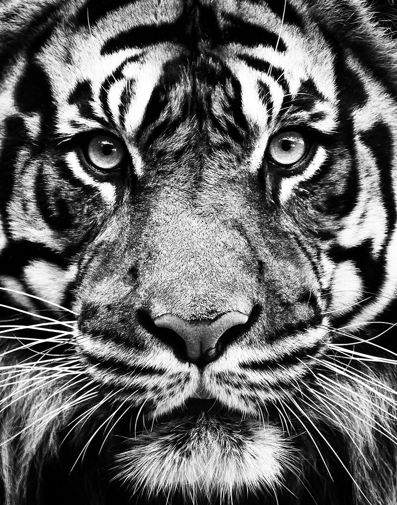 """Tiger, Tiger 