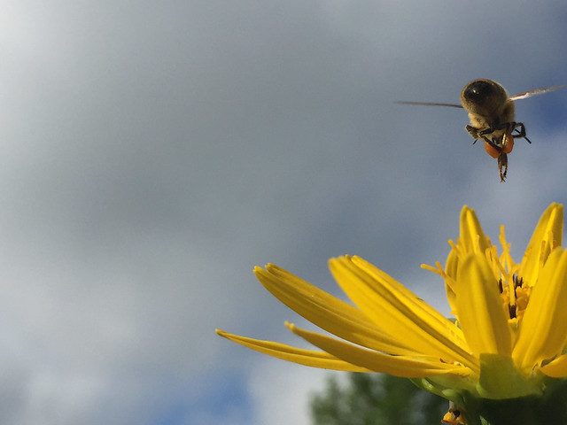 Honey bee, unedited, iPhone