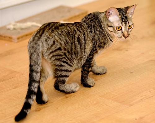 Muriel, gatita atigrada parda tímida y dulce esterilizada, de ojos cobrizos, nacida en Abril´16, en adopción. Valencia. 29532492341_fe97560d5f