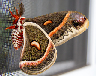 Cecropia Moth | by RtCmdr