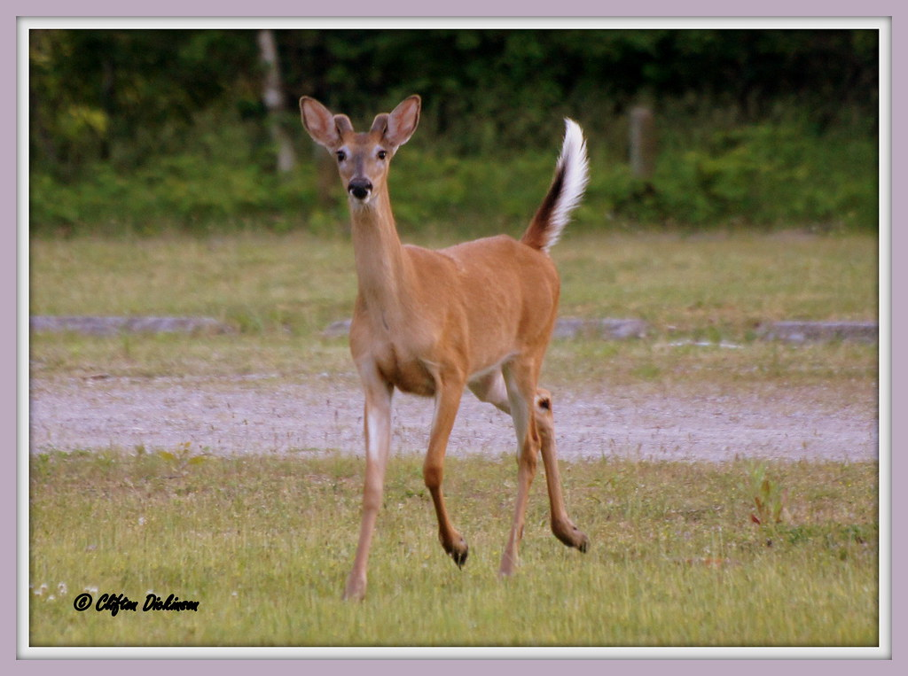 DSC00022 Male White-Tailed Deer (Crossing my path while on ...