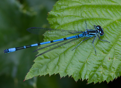 male Azure Damselfly (Coenagrion puella) | by Alan F17