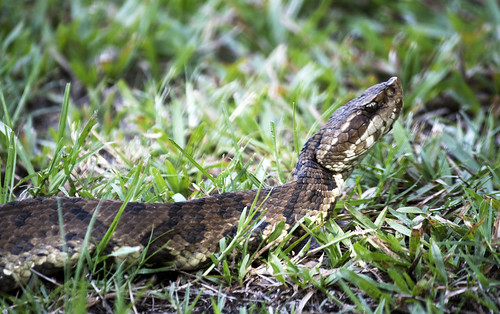 Cottonmouth | by DFChurch