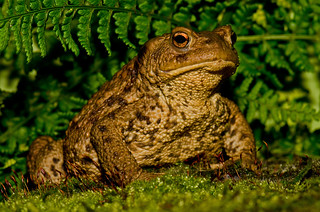 Common Toad | by MOZBOZ1