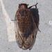 Cixid Planthopper (Cixius sp.)