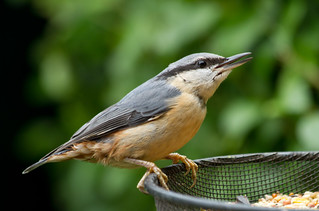 Hungry Nuthatch | by Mukumbura