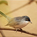 Menetries's Warbler