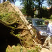 maryland derecho damage: your roots are showing