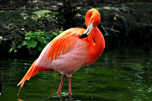Flamingo at Chester Zoo | by Lamby1959