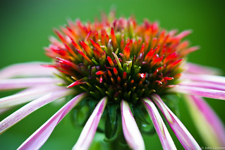 Young Coneflower | by John A. Gessner Photography