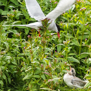Kría með unga-Arctic terns and a young one (Sterna paradisaea) | by nurdug2010