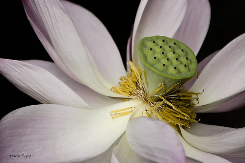 lotus pink | by Dailyville