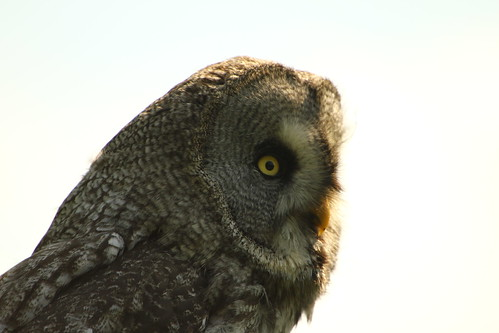 Great Grey Owl | by thomaswinstonus