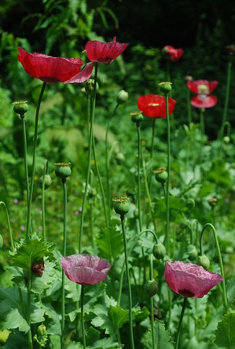 DSC_1355-poppies | by wmconnolley