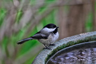 A Bird Bath and A Black-capped Chickadee. | by Robert Scott Photographyy