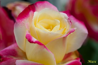 Rosa | by Maxcaos Photography