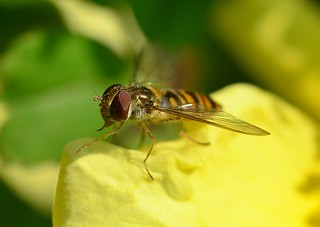 cheshire pictures hoverfly | by STEVE SK8