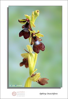 Ophrys Insectifera | by J.Perianes
