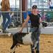 Chino, CA - Dairy Goat Show