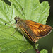 Butterfly - Large Skipper (f)