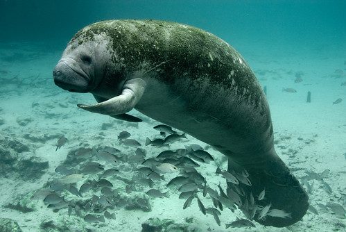 Endangered Florida manatee (Trichechus manatus) | by USFWS Headquarters