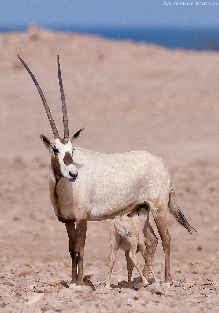 �� ���� arabian oryx press l amp f11 for best view